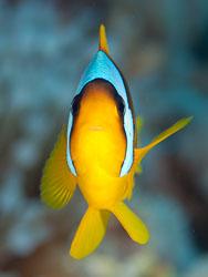 BD-100924-Fury-Shoal-2366-Amphiprion-bicinctus.-Rüppell.-1830-[Twoband-anemonefish.-Tvåbandad-clownfisk].jpg
